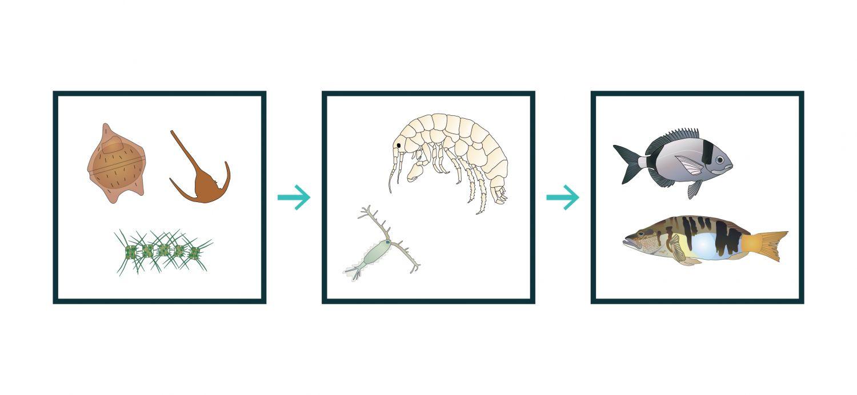 Relações tróficas entre alguns organismos. O fitoplâncton é composto por organismos microscópicos que têm uma importância muito elevada a nível global, à escala do planeta Terra, uma vez que, por serem produtores primários, estão na base das cadeias alimentares oceânicas. A utilização deste ficheiro é regulada nos termos da licença Creative Commons Attribution 4.0 (CC BY-NC-ND 4.0, https://creativecommons.org/licenses/by-nc-nd/4.0/)