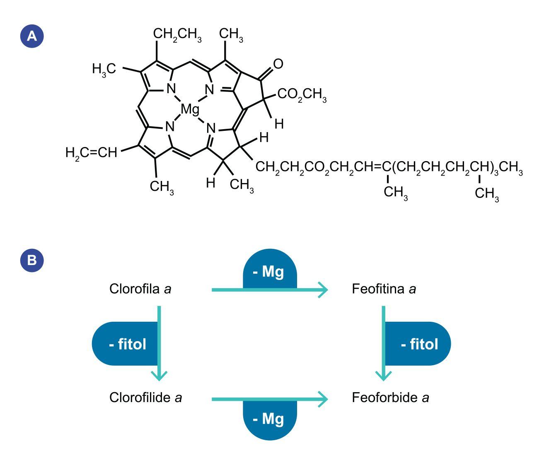 A) Estrutura química da clorofila com representação do anel de magnésio e da cadeia fitol (Fonte: Wisconsin Initiative for Science Literacy, http://scifun.chem.wisc.edu/chemweek/chlrphyl/chlrphyl.html). B) Conversão da molécula de clorofila a nos seus derivados. A quantificação da clorofila a pode ser efectuada por fluorometria, espectrofotometria ou por cromatografia. Para a quantificação da clorofila a, o método considerado mais preciso é o da cromatografia líquida de alta precisão (HPLC, do inglês High Performance Liquid Chromatography). Este método separa os vários pigmentos de acordo com a sua polaridade, sendo a clorofila a um dos pigmentos menos polares. A sua estrutura química pode, contudo, ser alterada por diferentes processos biológicos e físico-químicos e transformar- se em derivados mais polares. Estes derivados são fotossinteticamente inativos mas absorvem luz em comprimentos de onda semelhantes à molécula de clorofila a. As transformações mais frequentes que ocorrem na molécula de clorofila a são a perda do átomo central de magnésio, a perda da cadeia de fitol, ou a perda de ambos, transformando-se em feofitina a, clorofilide a, e feoforbide a, respetivamente.  A utilização da figura B) é regulada nos termos da licença Creative Commons Attribution 4.0 (CC BY-NC-ND 4.0, https://creativecommons.org/licenses/by-nc-nd/4.0/)